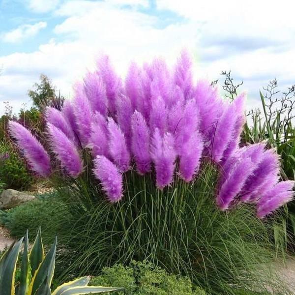 Purple Pampas Grass Seeds Ornamental home garden bonsai pot Plants Flowers seeds New Rare Cortaderia Selloana 600PCS