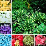 1bag=100pcs Hosta Seeds Perennials Plantain Lily Flower White Lace Home Garden Ground Cover Plant free shipping