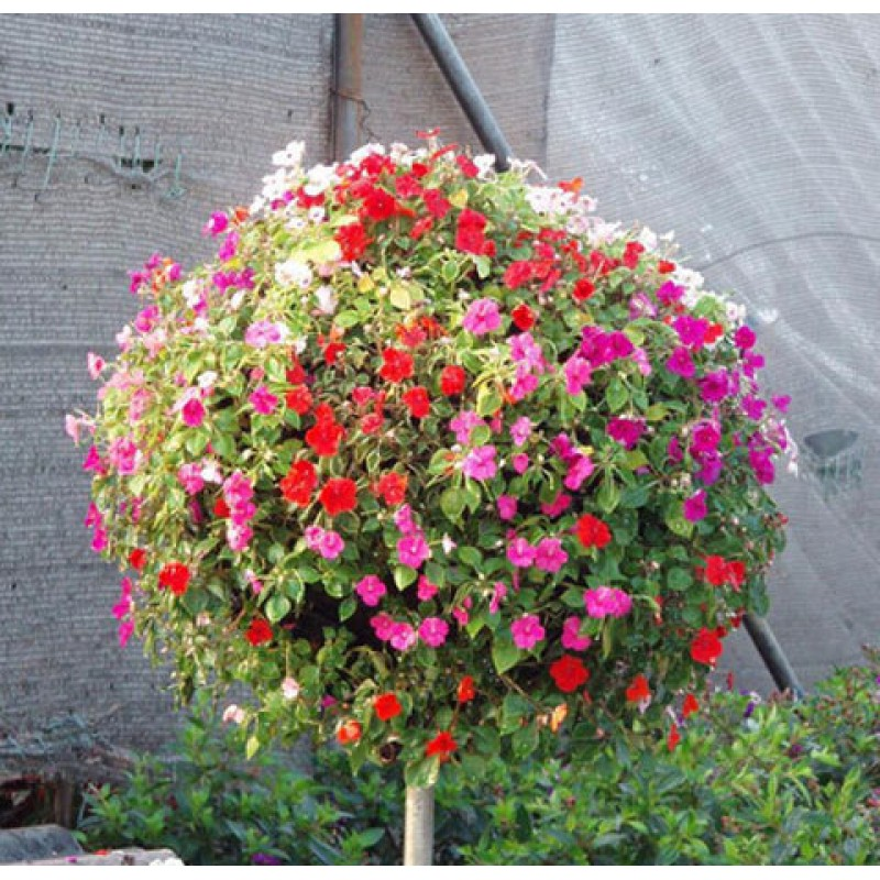 free shipping Flower seeds plant hanging petunia seeds balcony -100